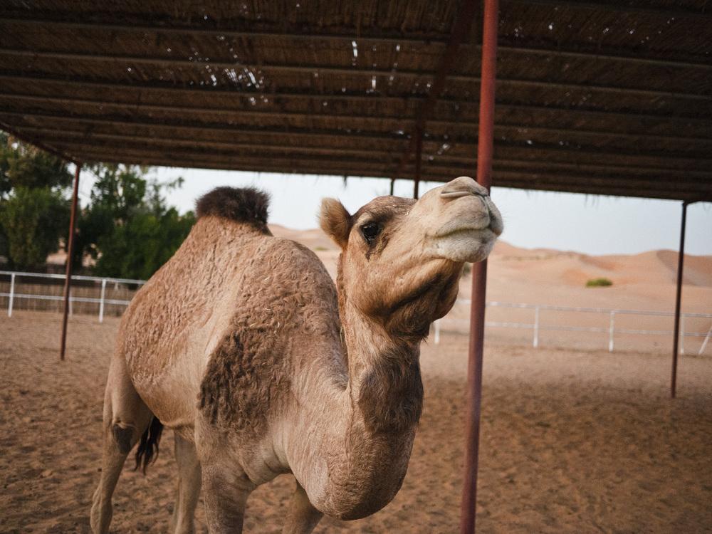 Camel :)