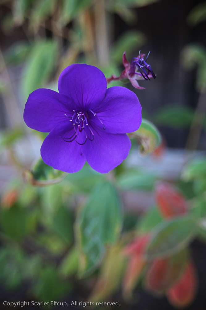 our Tibuchina blooms brilliant purple while their leaves reveal crimson red