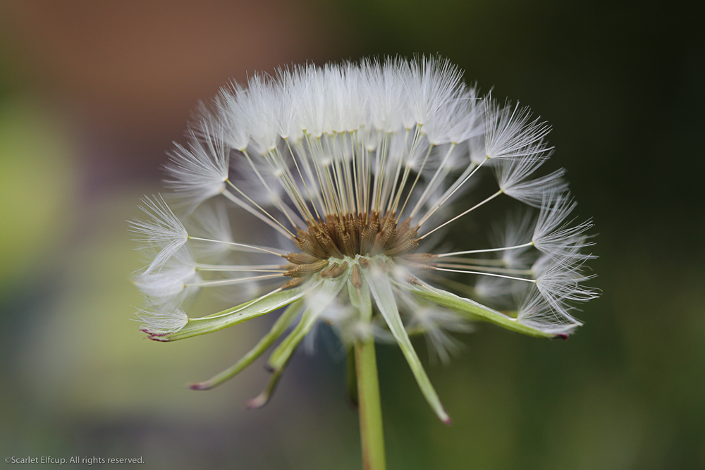 Raindrops and Dandelions-6.jpg