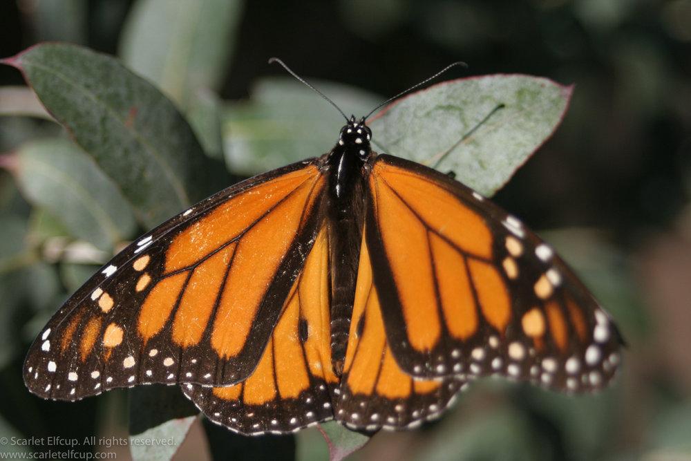 Monarchs-1.jpg