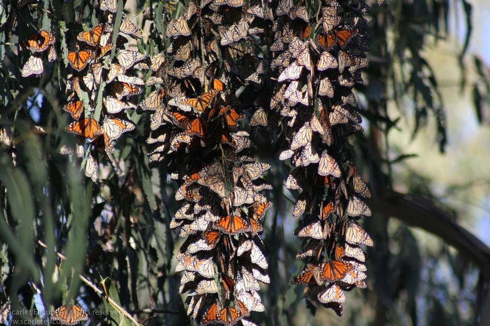 Monarchs-4.jpg