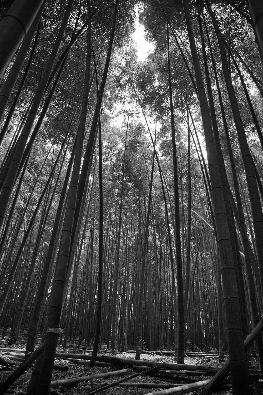 Bamboo Forest (Arashiyama, Kyoto)