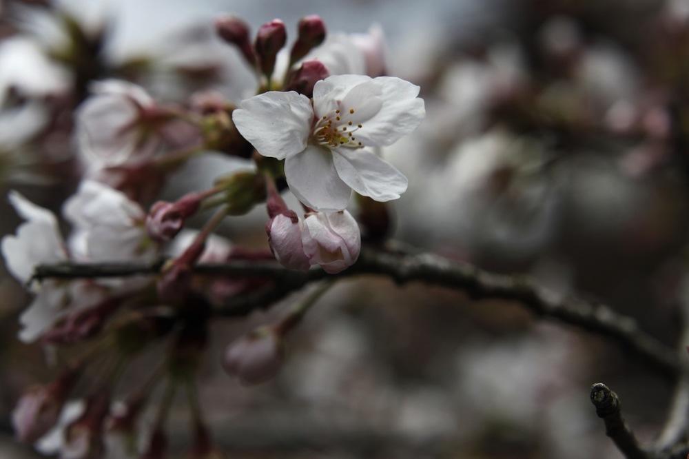 Sakura (Kyoto)
