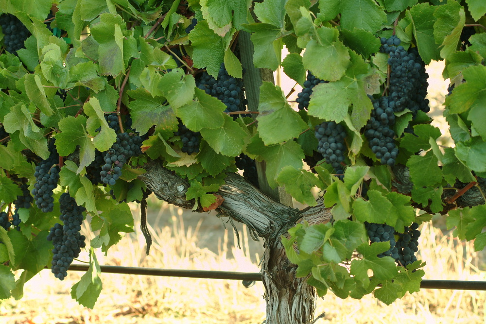 Rochioli Grapes1.JPG