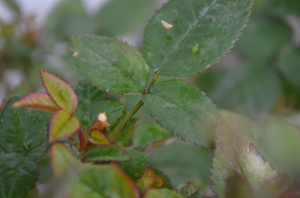 aphids on a rose bush / warp or weft / warporweft.com