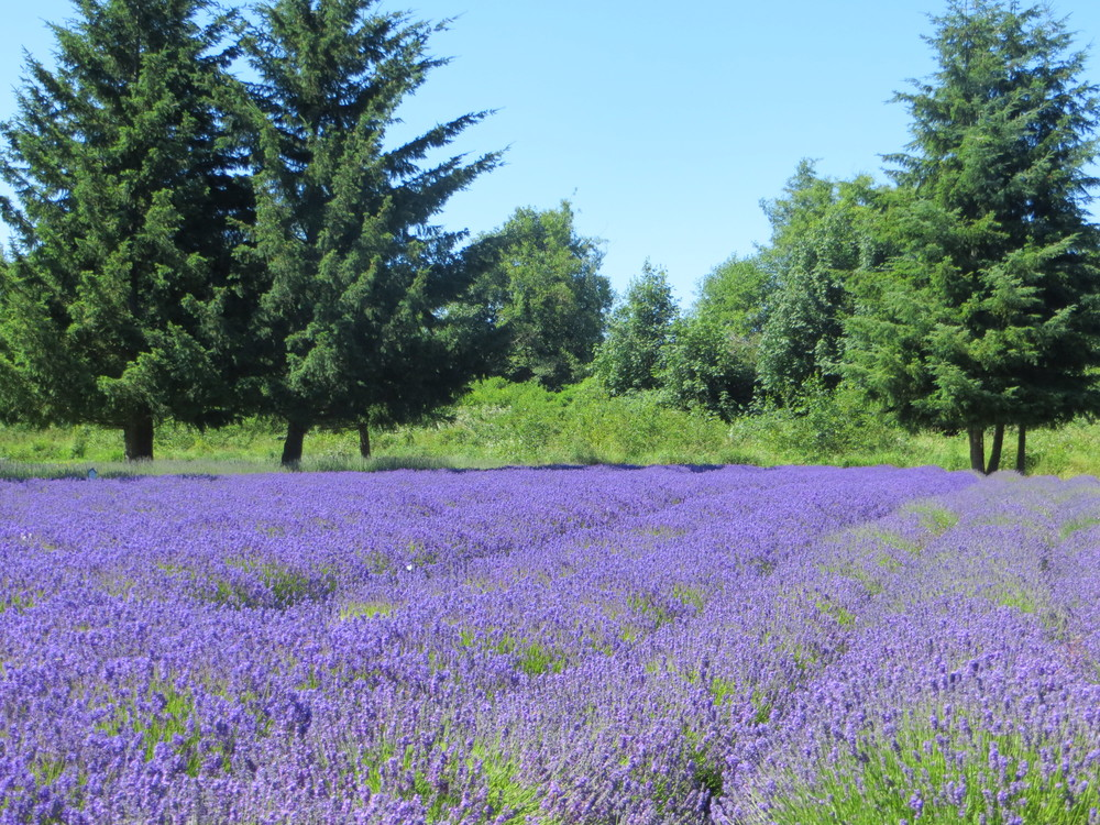 lavender farm / warporweft.com