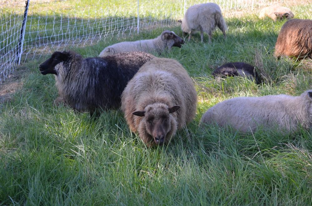 sheep at the fiber farm tour on warporweft.com