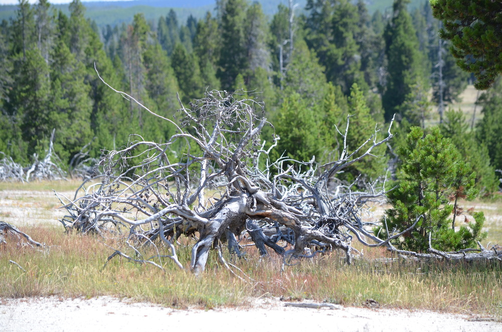 Tree that fell after earthquake Yellowstone / warporweft.com