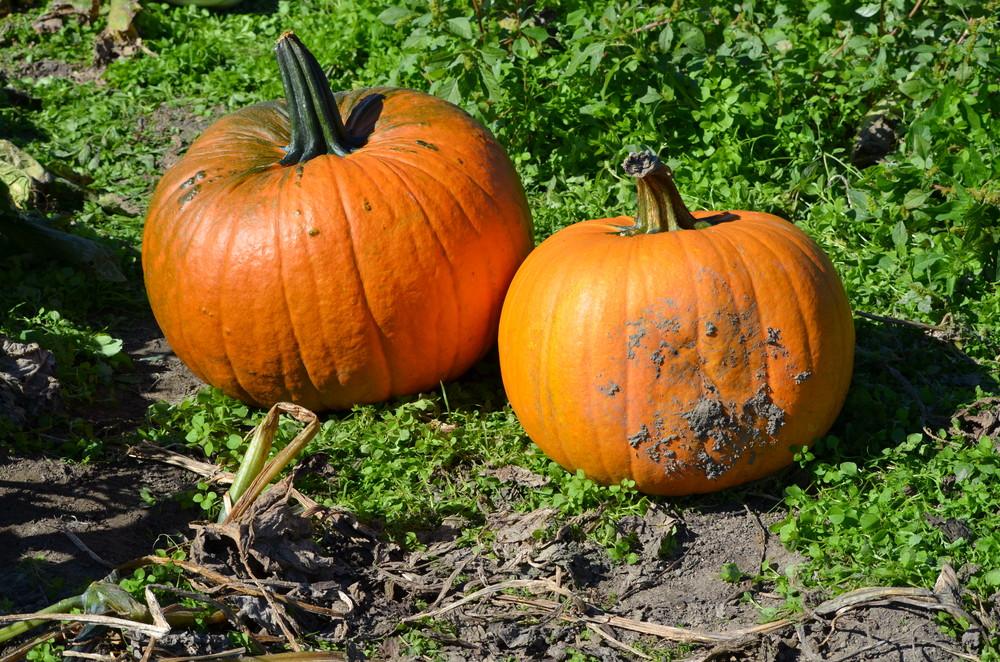 pumpkin patch / warporweft.com