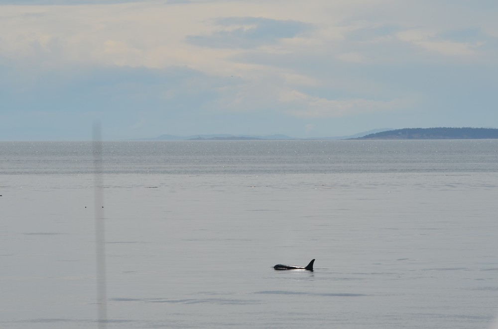 orca off of San Juan Island, Washington / warporweft.com
