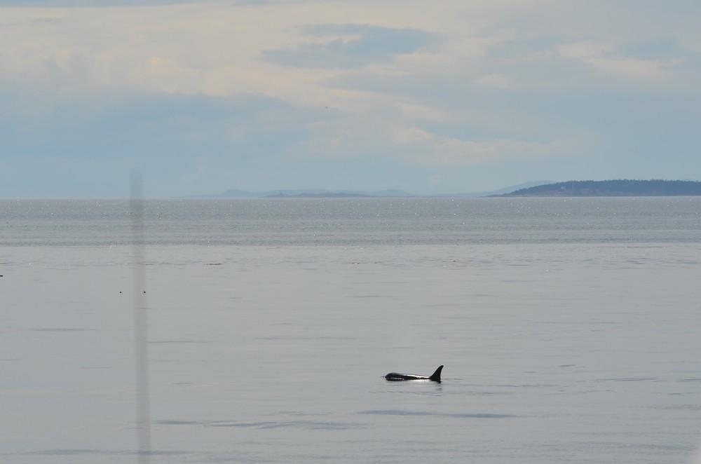 orca off of San Juan Island, Washington / warporweft.com