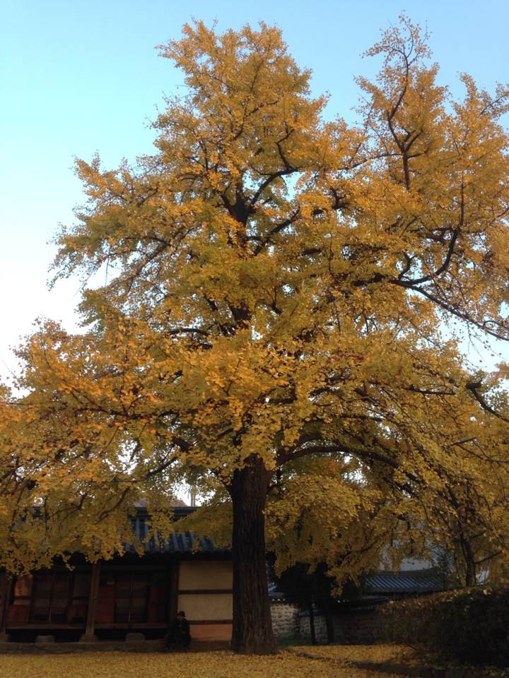 The majestic and gorgeous ginkgo tree stands tall and proud. A beautiful tree with leaves that change from green to yellow in the fall. Another sign of fall is the distinct smell that comes from the outer layer of the ginkgo seed/fruit of this tree.