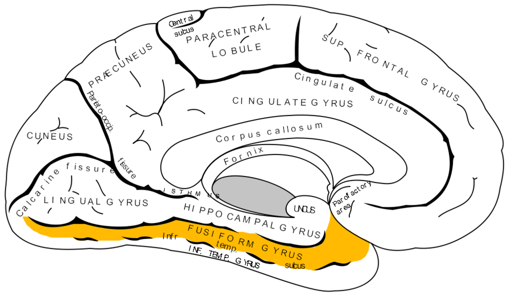 Fusiform gyrus (in orange).