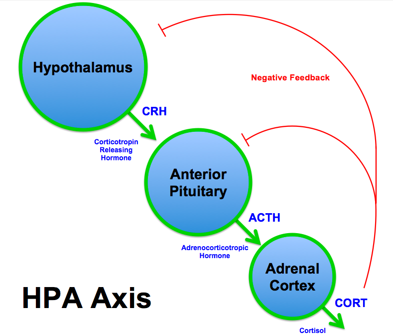 HPA axis activation, proceeding from the hypothalamus to the pituitary gland to the adrenal glands. Image courtesy of Brian M Sweis.