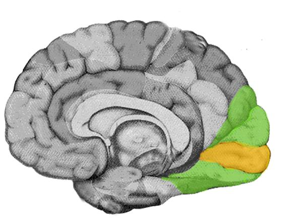 Visual cortex (highlighted).