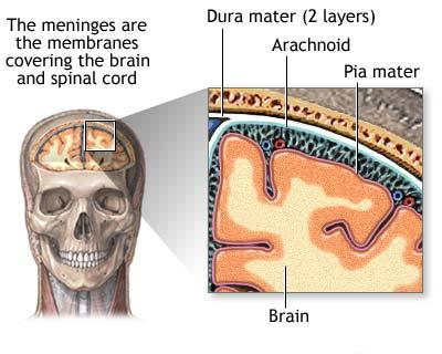 Close-up view of the meninges surrounding the brain.