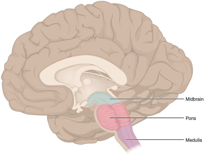 The brainstem is composed of the three highlighted structures above: the midbrain, pons, and medulla. Image courtesy of OpenStax College - Anatomy & Physiology, Connexions Web site.