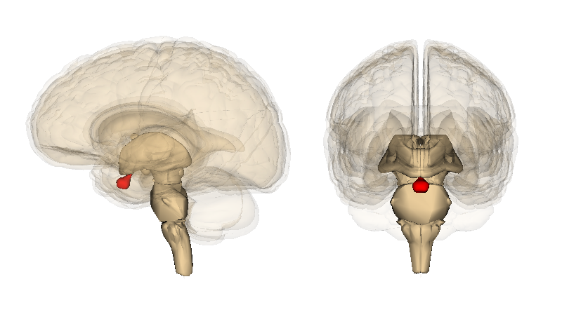 The pituitary gland (in red). Image courtesy of Life Science Databases (LSDB).