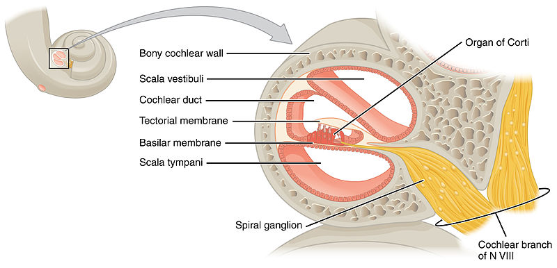 cochlea and cochlea in cross-section.  image courtesy of openstax college.