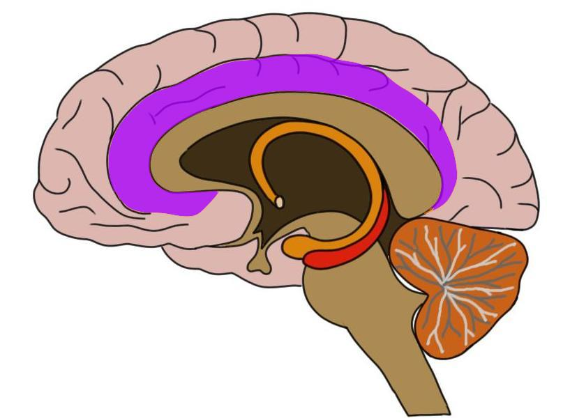 cingulate cortex (in purple)