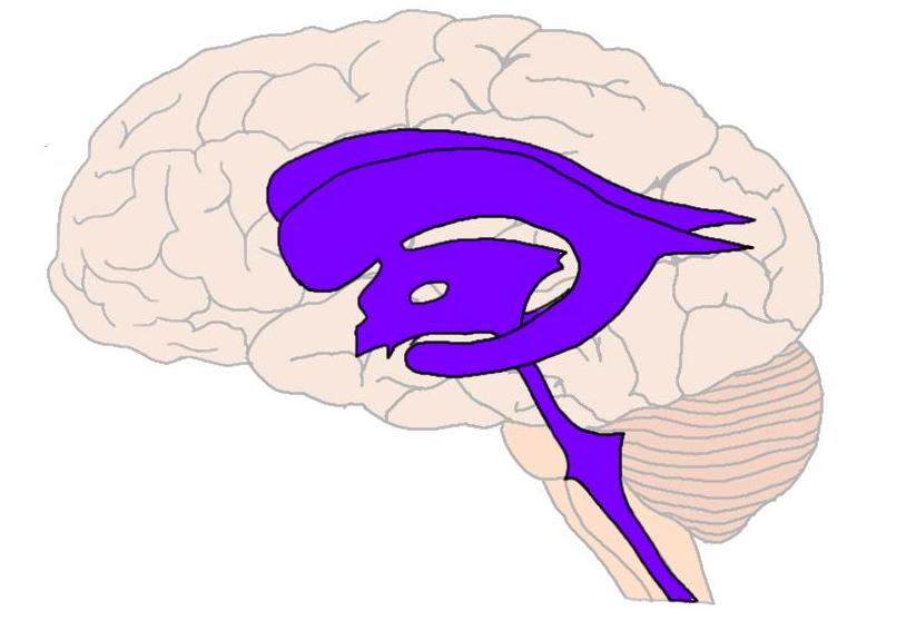 "2-Minute Neuroscience<a href=""/blog/2-minute-neuroscience-ventricles"">→</a><strong>Ventricles</strong>"