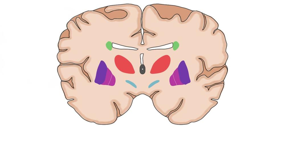 "2-Minute Neuroscience<a href=""/blog/2-minute-neuroscience-basal-ganglia"">→</a><strong>Basal Ganglia</strong>"