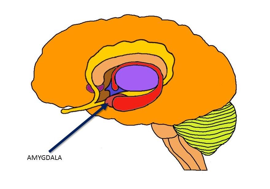 amygdala.jpg