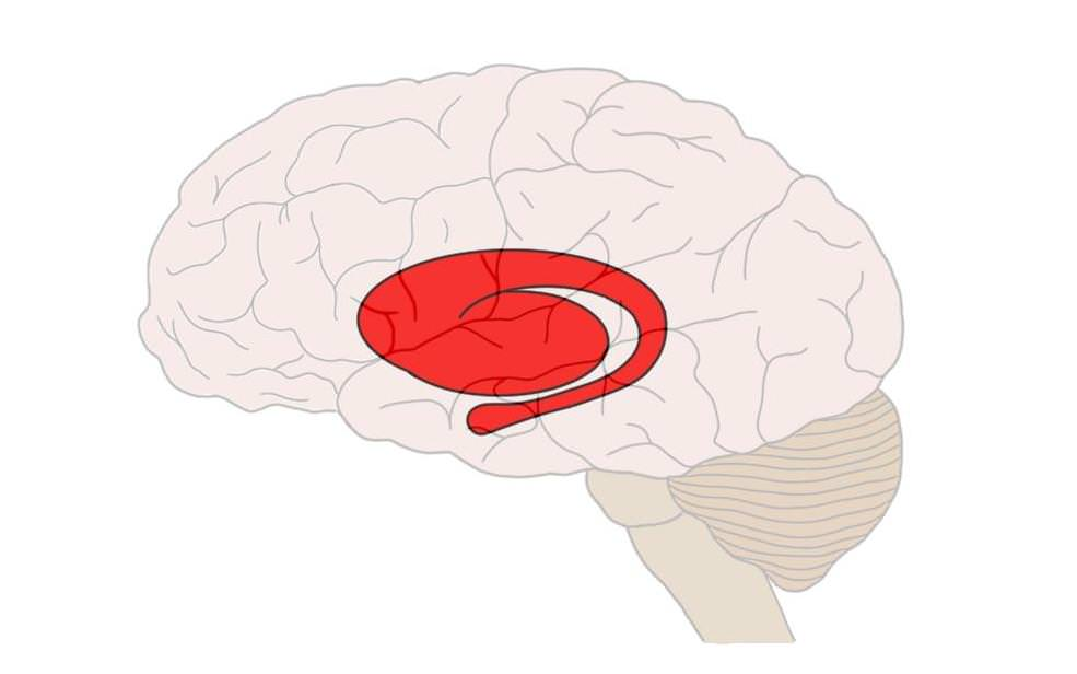 Striatum (in red). The c-shaped portion of the structure is the caudate and the more globular portion is the putamen.