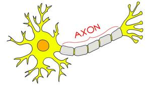The location of an axon in a brain cell (neuron).