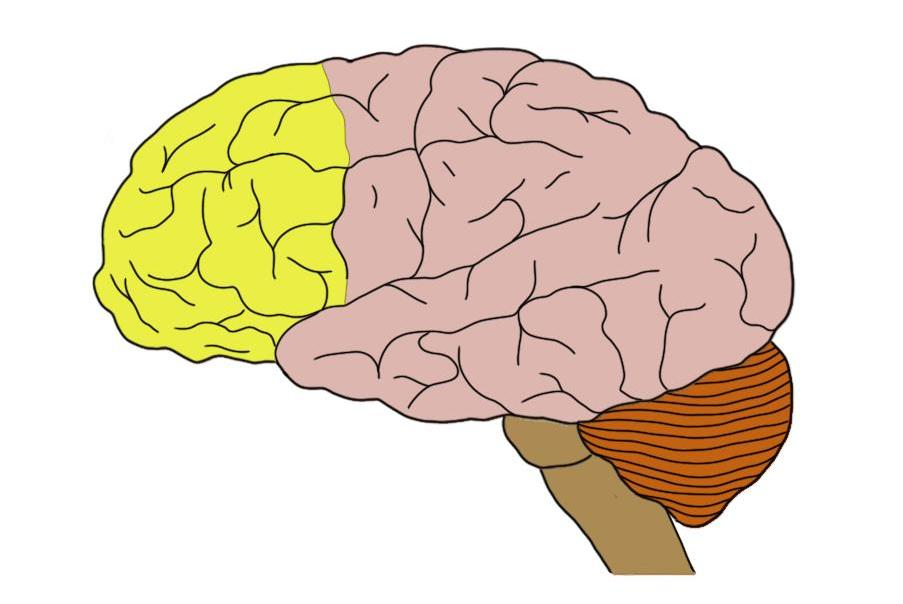 Prefrontal cortex (in yellow).