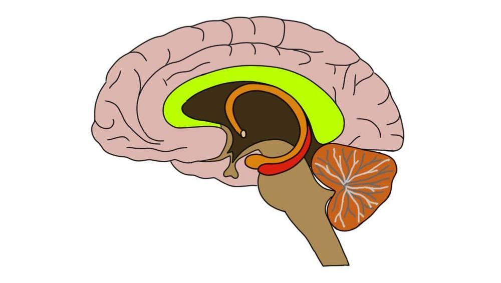 Corpus callosum (in green).