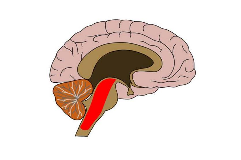 reticular formation (in red).