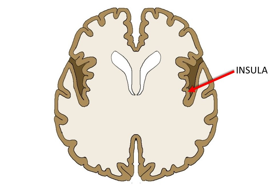 insula in horizontal brain slice.