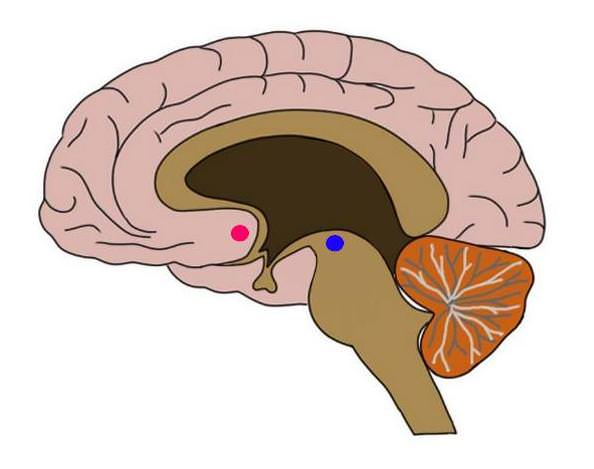 image showing the location of two main components of the reward system: the nucleus accumbens (red dot) and the ventral tegmental area (blue dot).