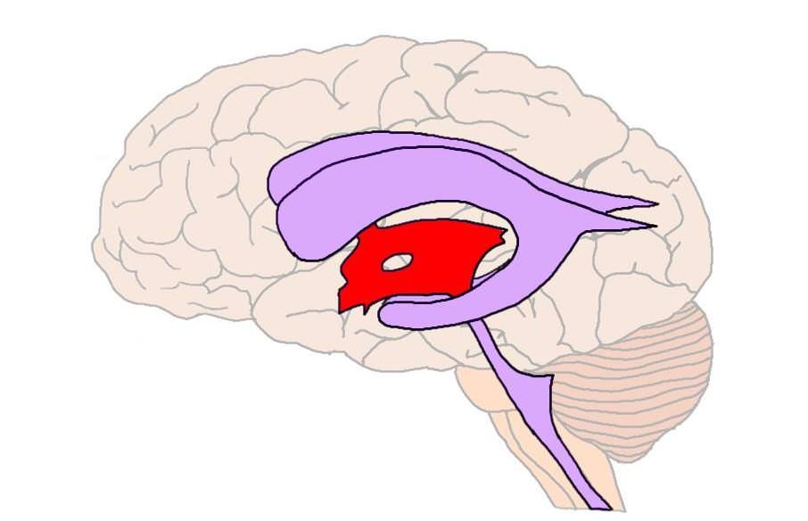 Third ventricle (in red).
