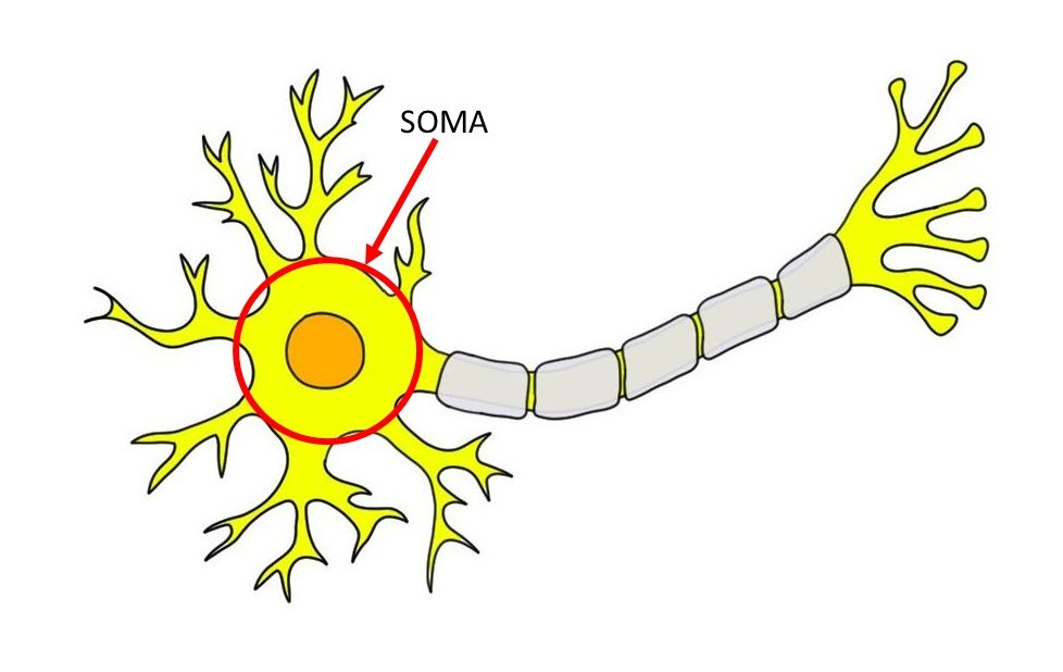 soma indicated by red circle and arrow.