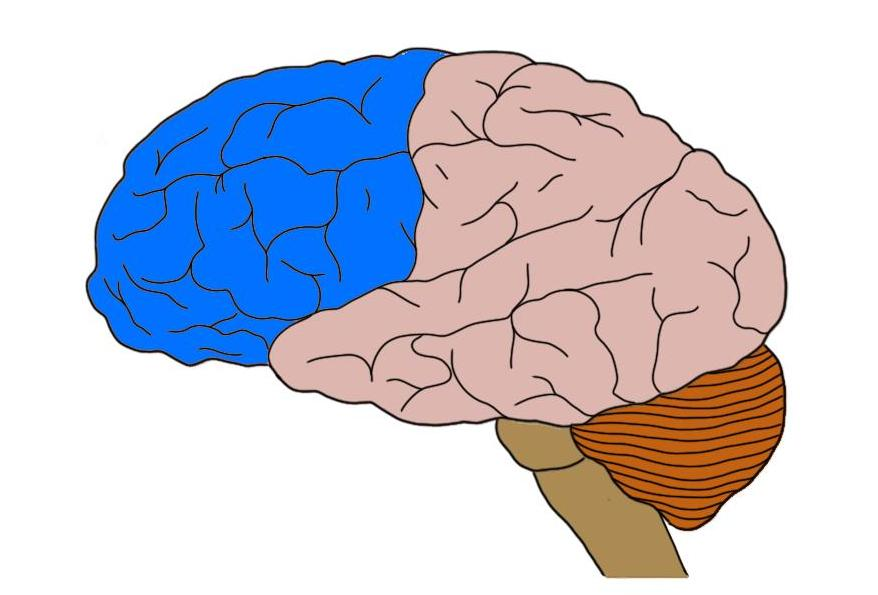 Frontal lobe (in blue).