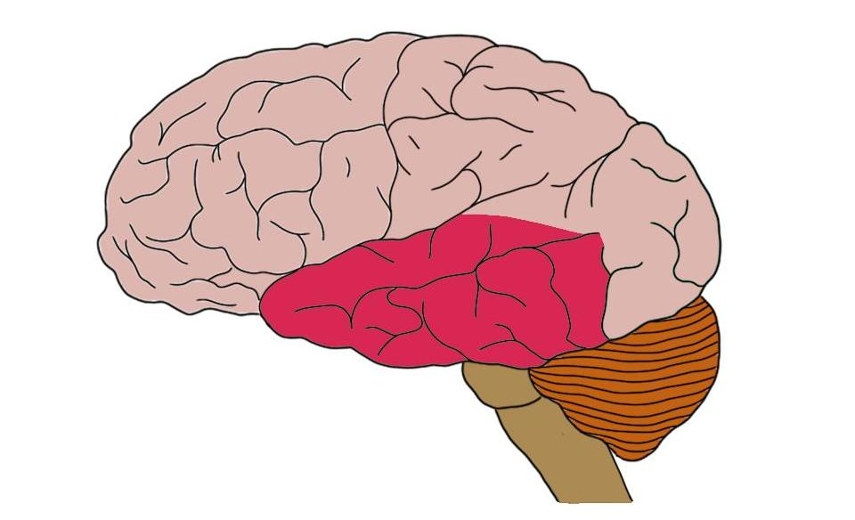 Temporal lobe (in red).