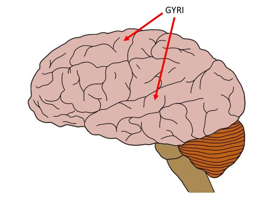 gyrus.