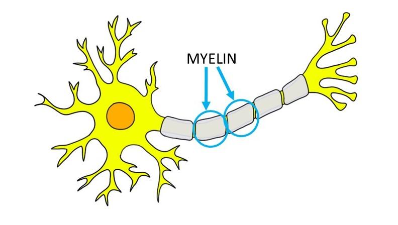 myelin.