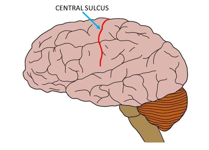 Central sulcus (in red).