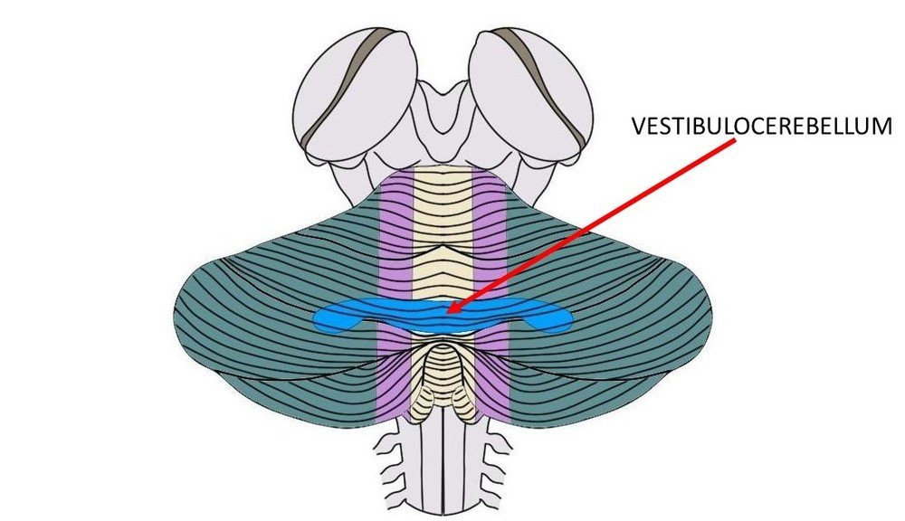 the vestibulocerebellum is the blue region above.