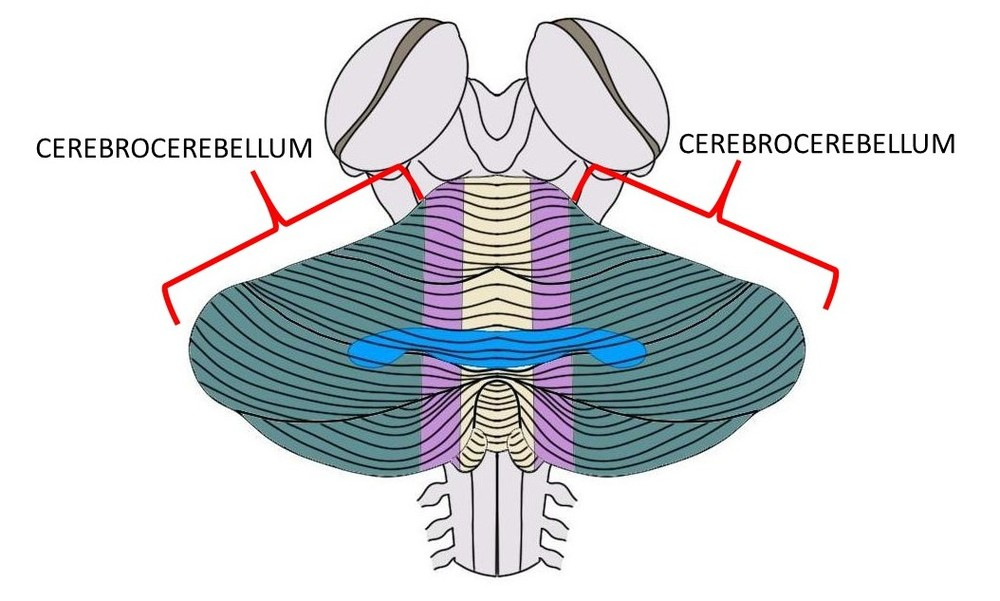 The cerebrocerebellum is made up of both green regions above.