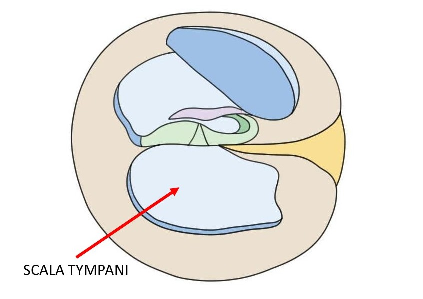 cross-section of the cochlea with an arrow designating the scala tympani.