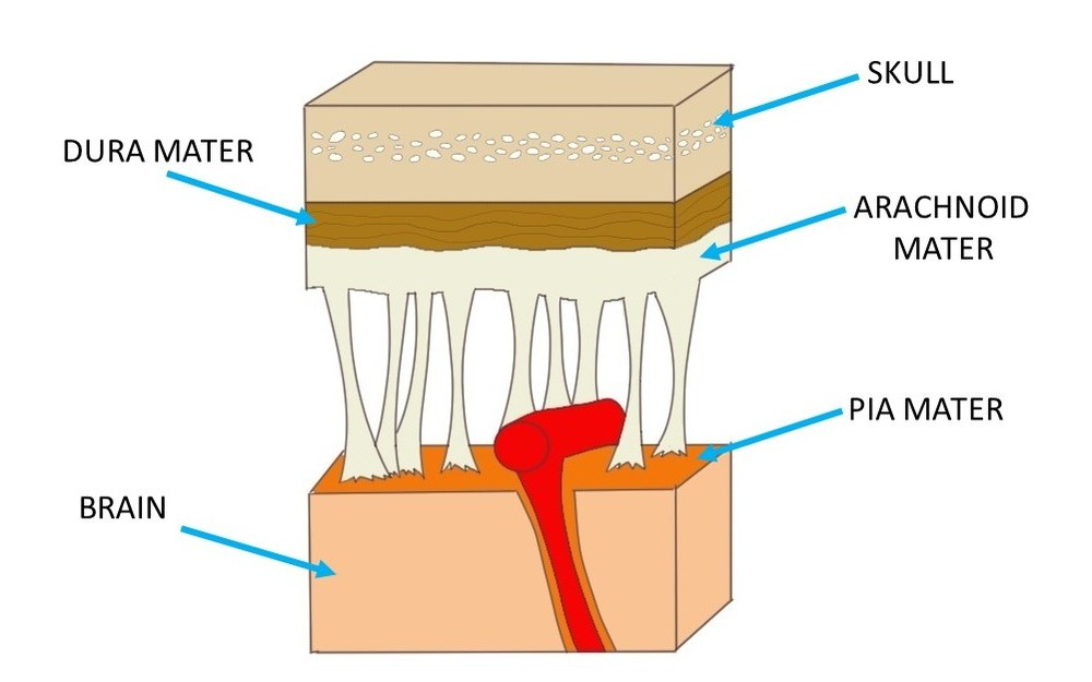 a close-up view of the meninges.