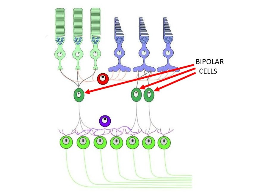 Cell layers of the retina with arrows designating bipolar cells.