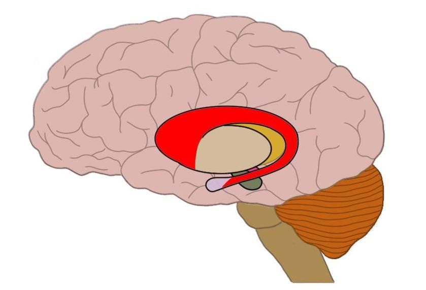 caudate nucleus (red).