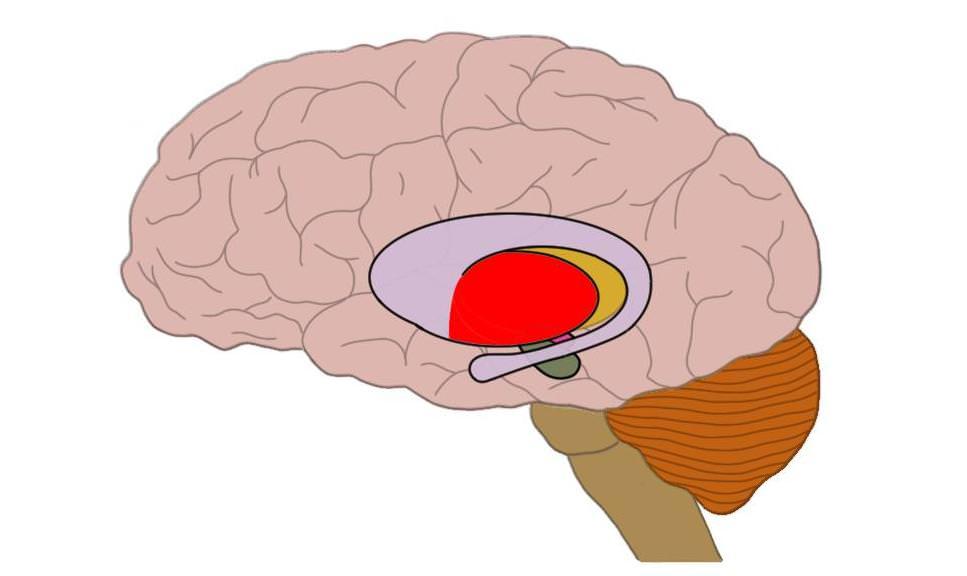 Putamen (in red).