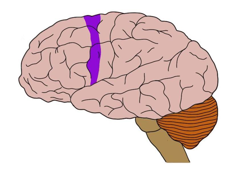 nonprimary motor cortex (in purple).