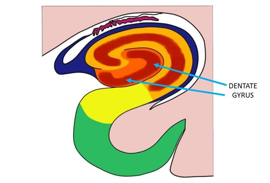Dentate gyrus.